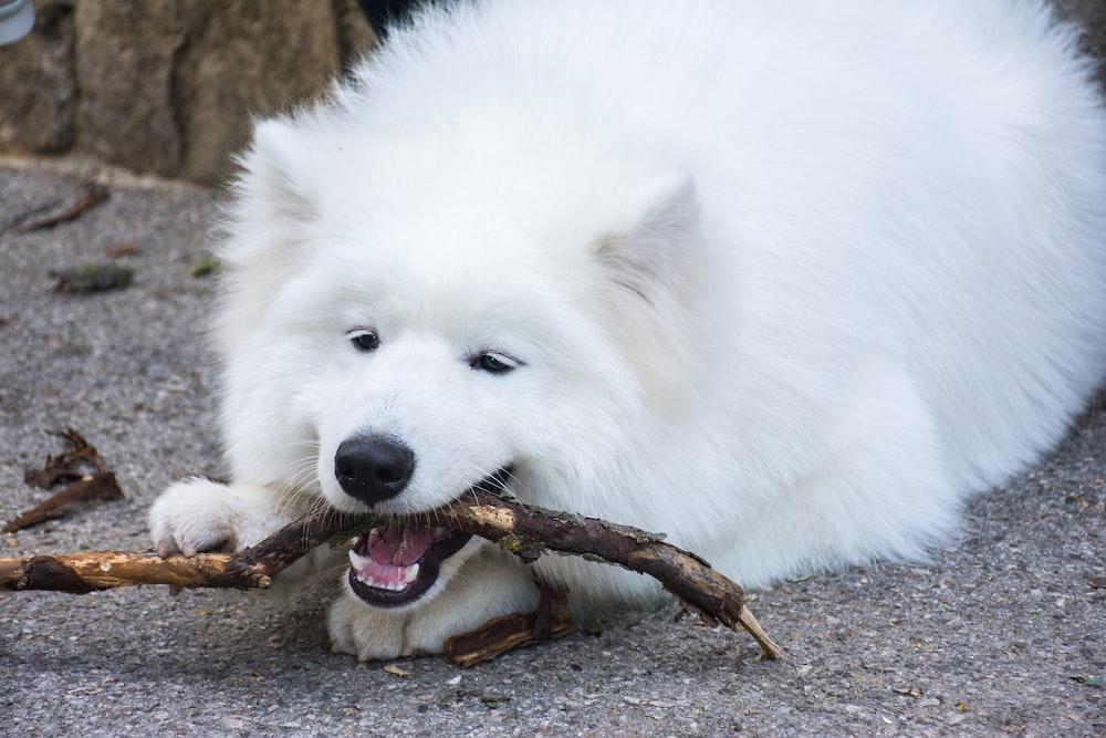 long-coated white dog biting stick