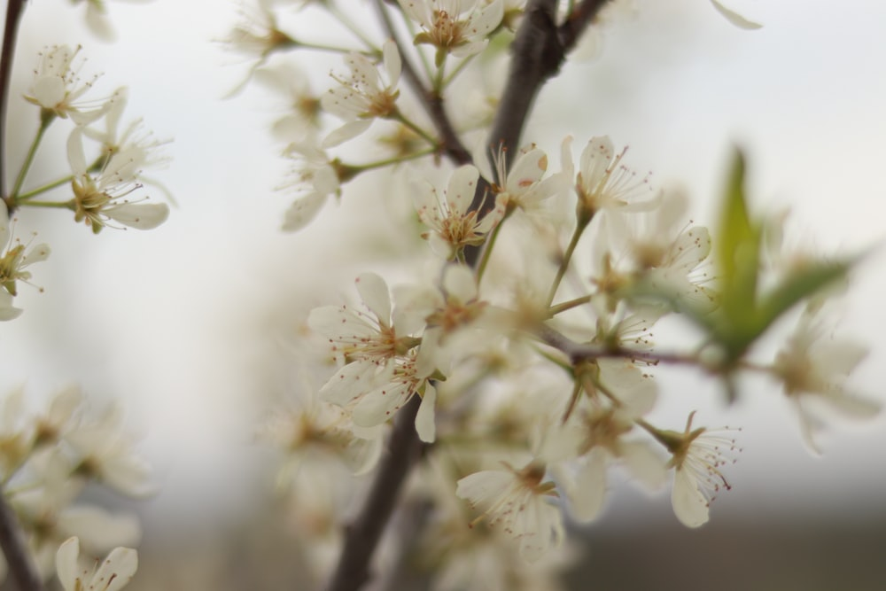 selective focus photography of white cherry blossoms in bloom