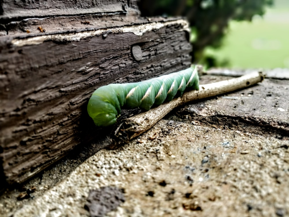 green caterpillar on stick