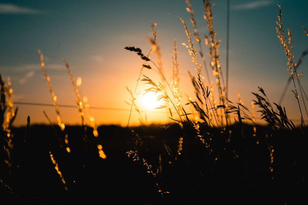brown wheat field during sunrise