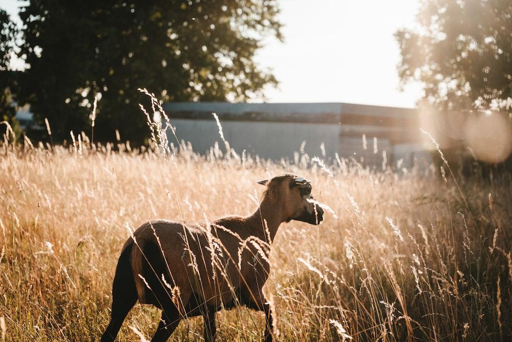 brown goat on brown field
