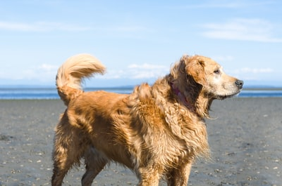 brown medium coated dog at the beach canine teams background
