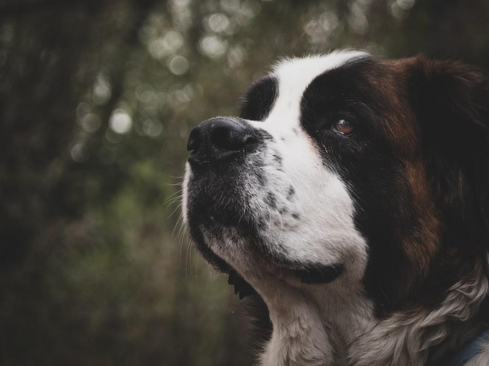 selective focus of Saint Bernard dog