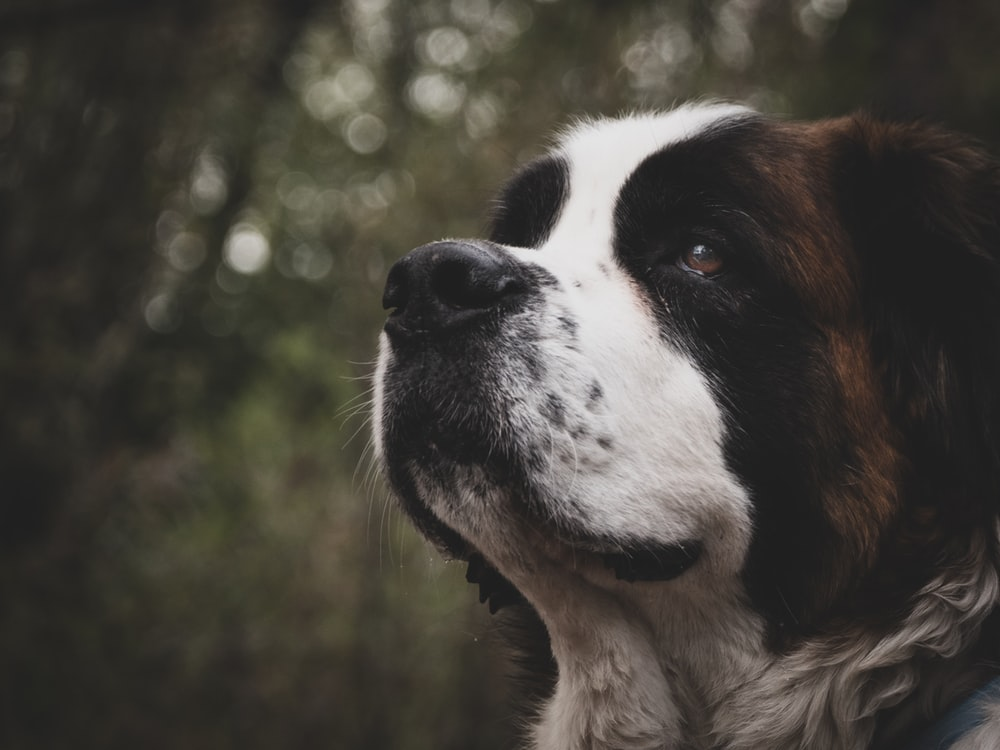 selective focus of Saint Bernard dog
