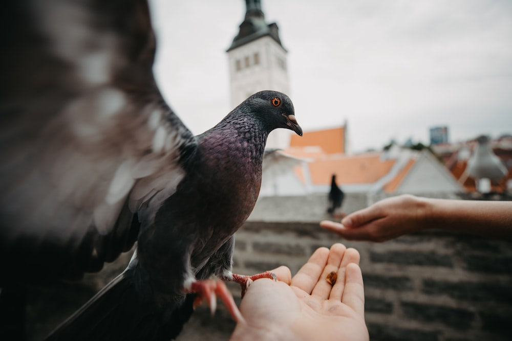 two people feeding pigeons close-up photo