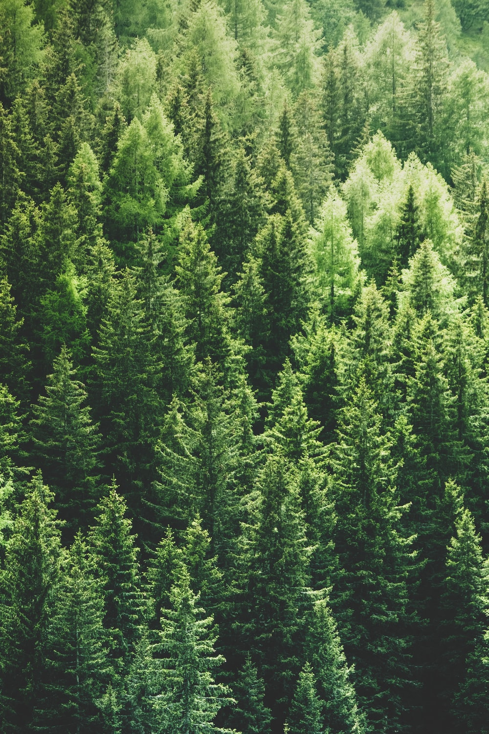 green pine trees in forrest