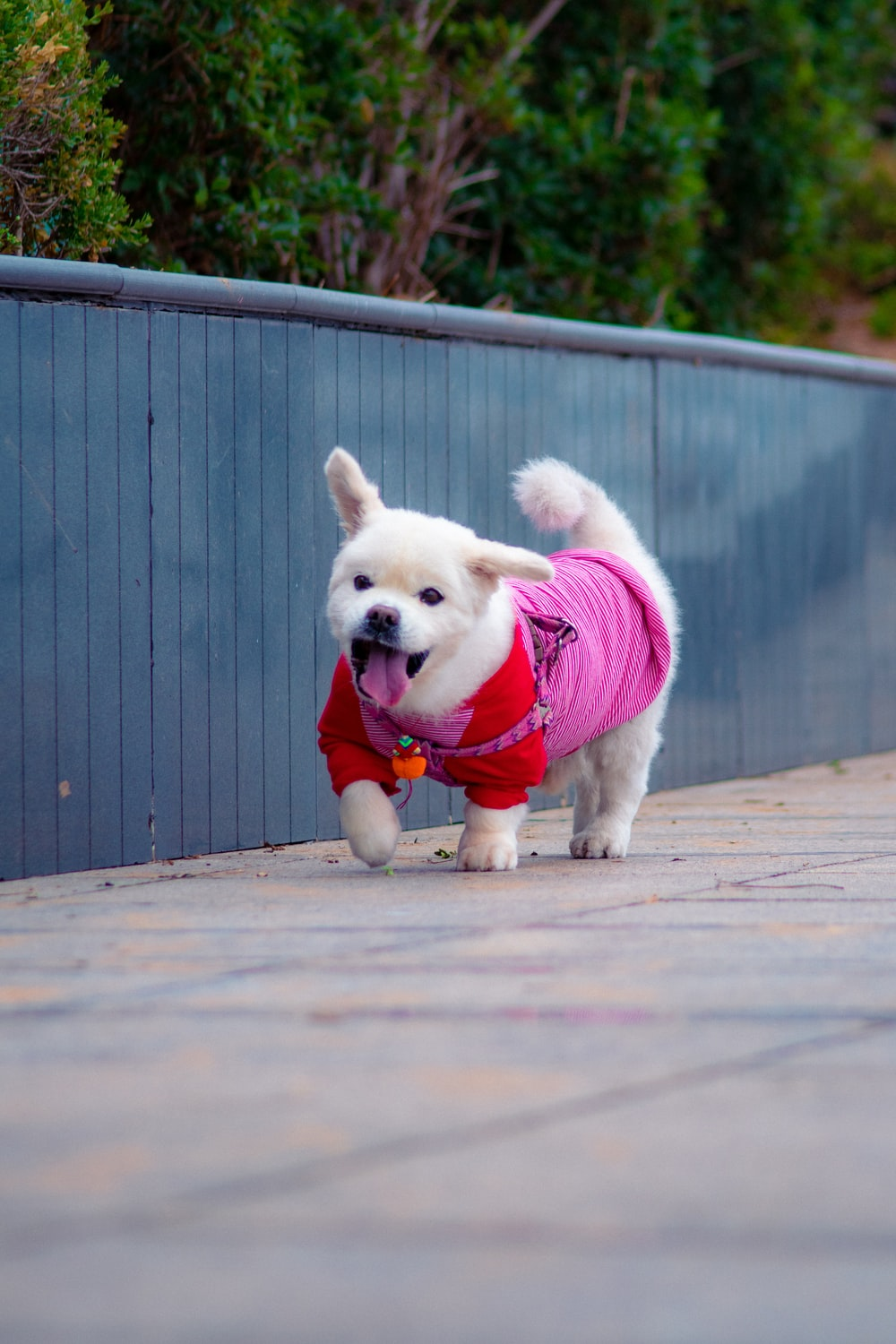 short-coated white puppy wearing pink shirt walking near fence