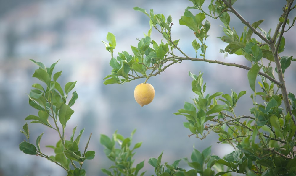 yellow fruit plant during daytime