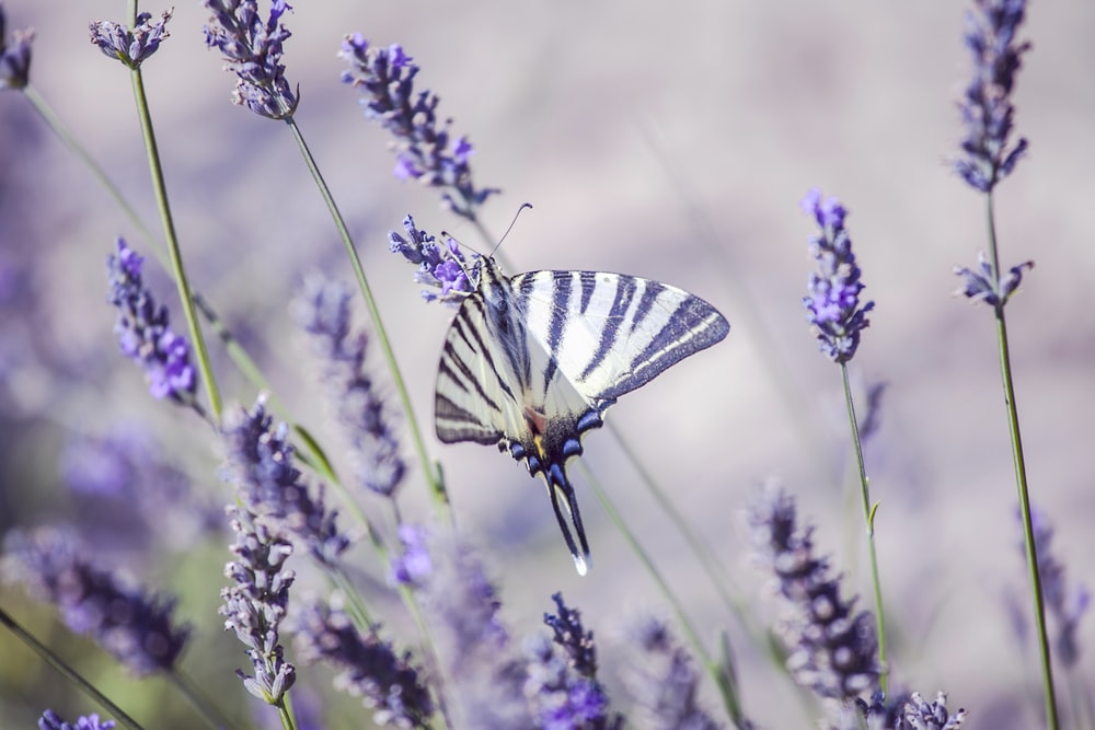 white and black butterfly on purple lavender