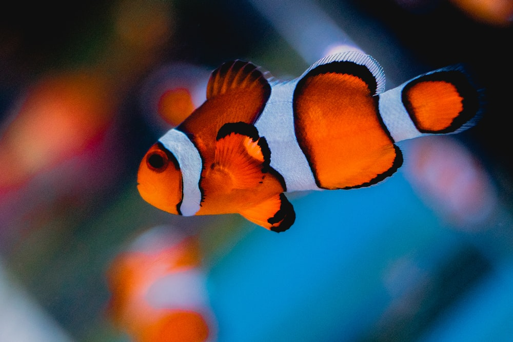 shallow focus photography of clown fish