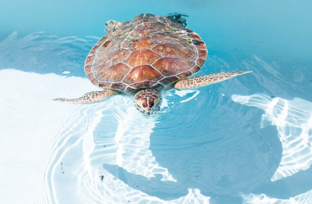 sea turtle swimming on clear water