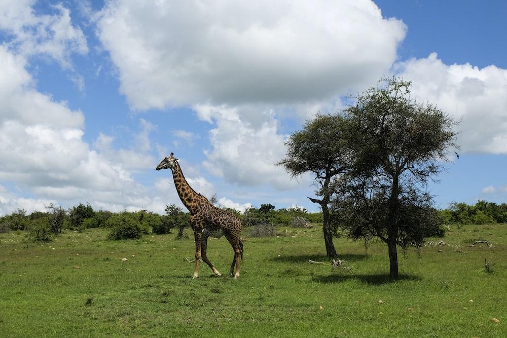 giraffe on green grass under cloudy sky