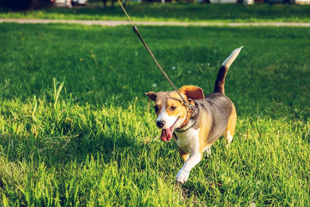 beagle walking on green grass