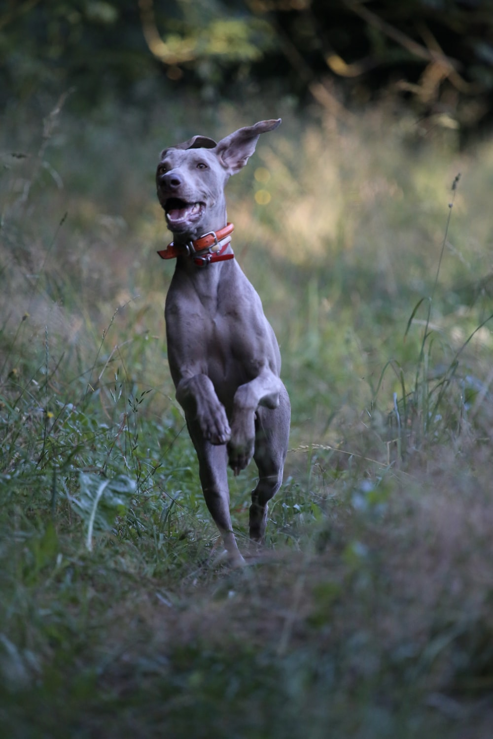 gray dog with red collar running on green grass