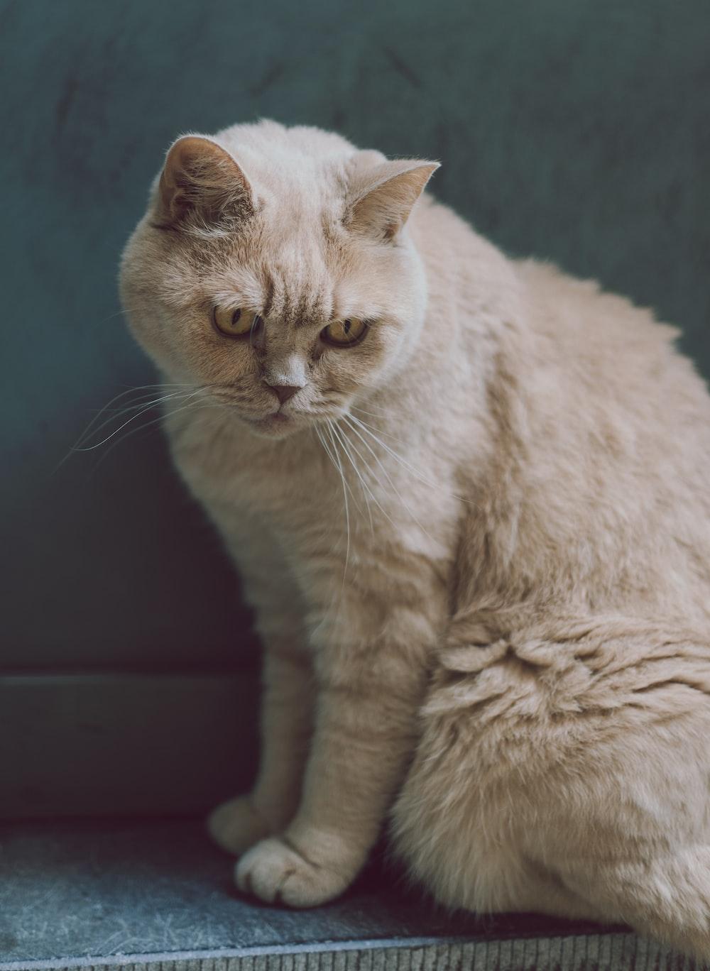 sitting brown cat