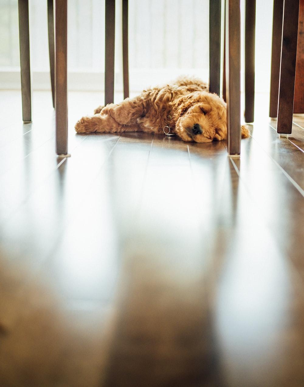 brown long-coat dog lying on floor inside well lit room