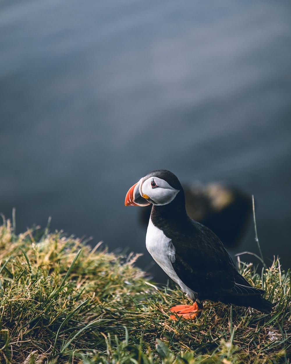 black and white bird on green grass