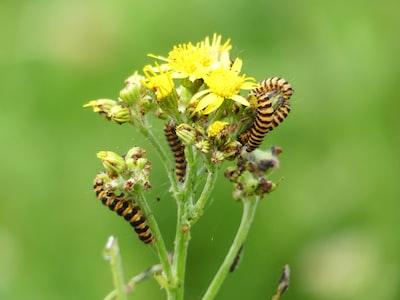 Six-spot burnet moth caterpillars (Zygaena filipendulae) on ragwort plant (Jacobaea vulgaris)