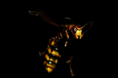 Yellow Hornet on black background