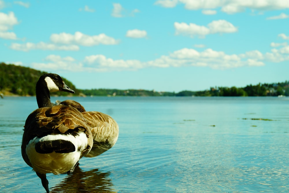 black and white duck on body of water close-up photography