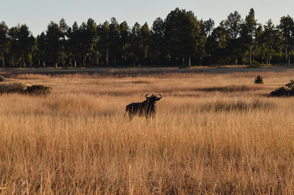 black animal on brown grass field at daytime
