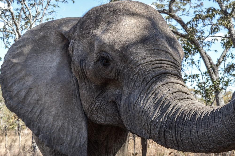 grey elephant photography