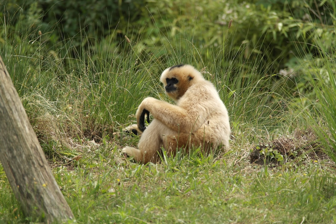 White gibbon chilling in the grass