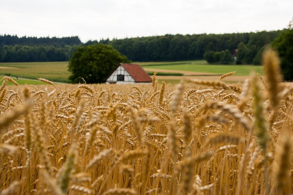 brown rice field