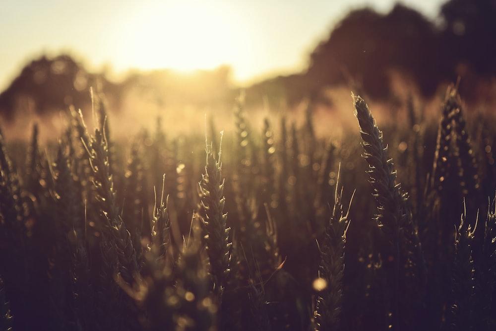 grass during golden hour