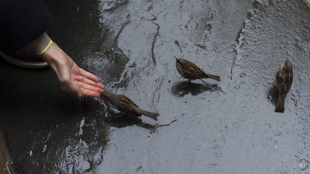 person feeding three brown sparrow birds