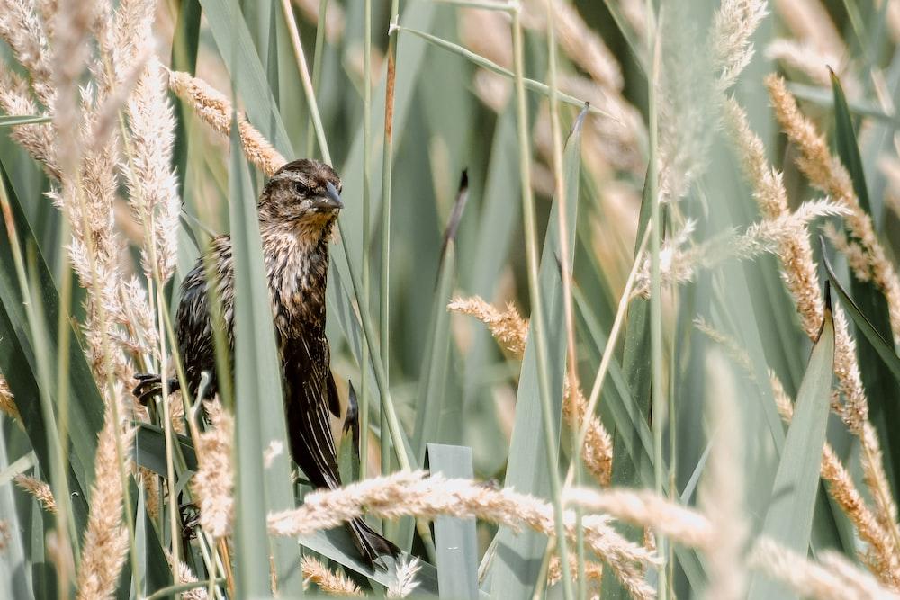 brown bird on rice wheat
