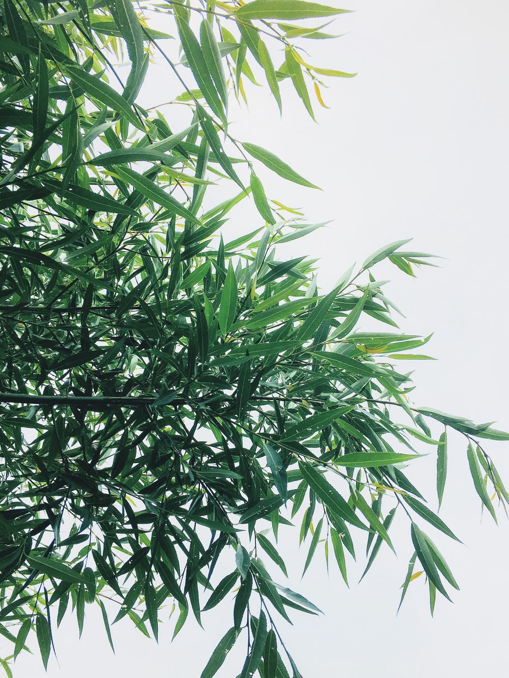 green bamboo leaves
