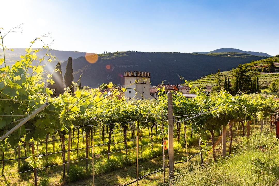 The Sunny Vineyard