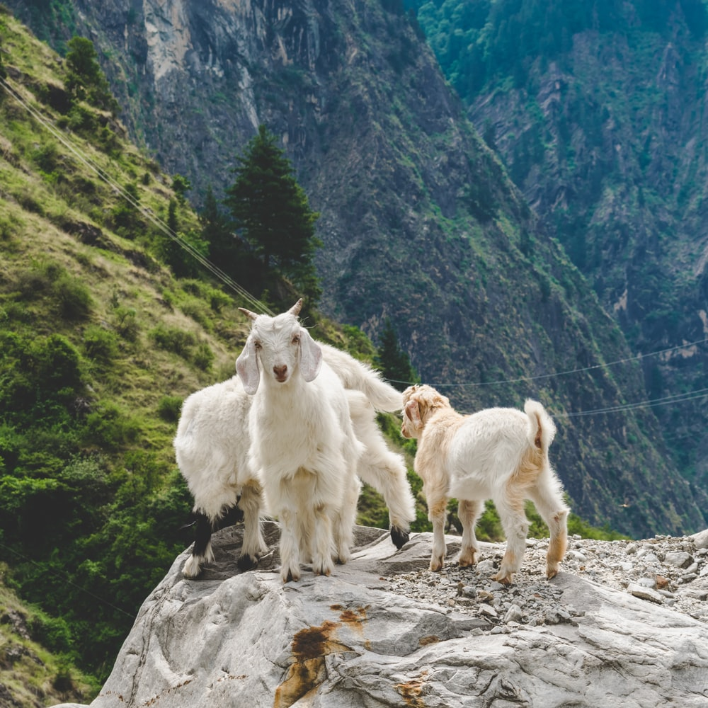 three white goats on rocky cliff