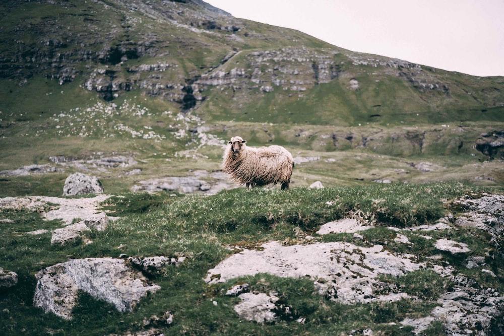 white sheep on green field