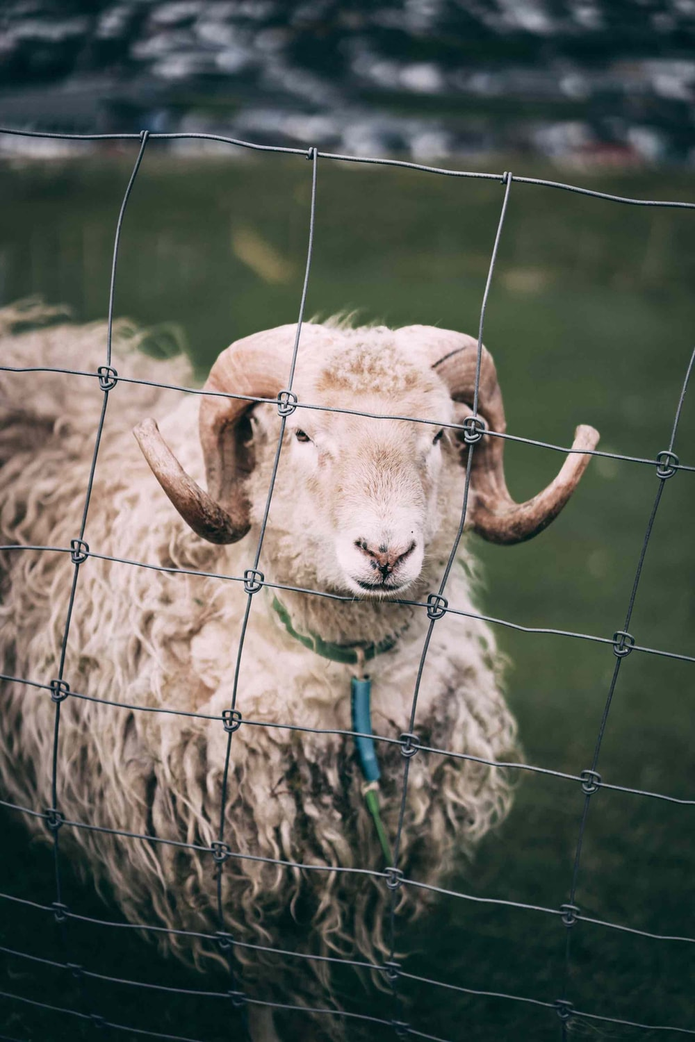 tied sheep on fence