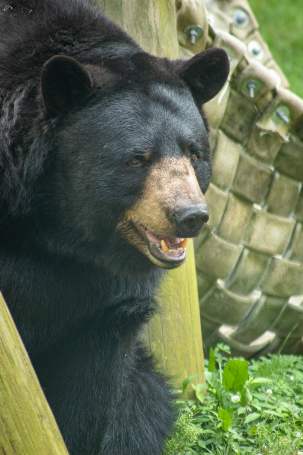 black and brown bear close-up photography