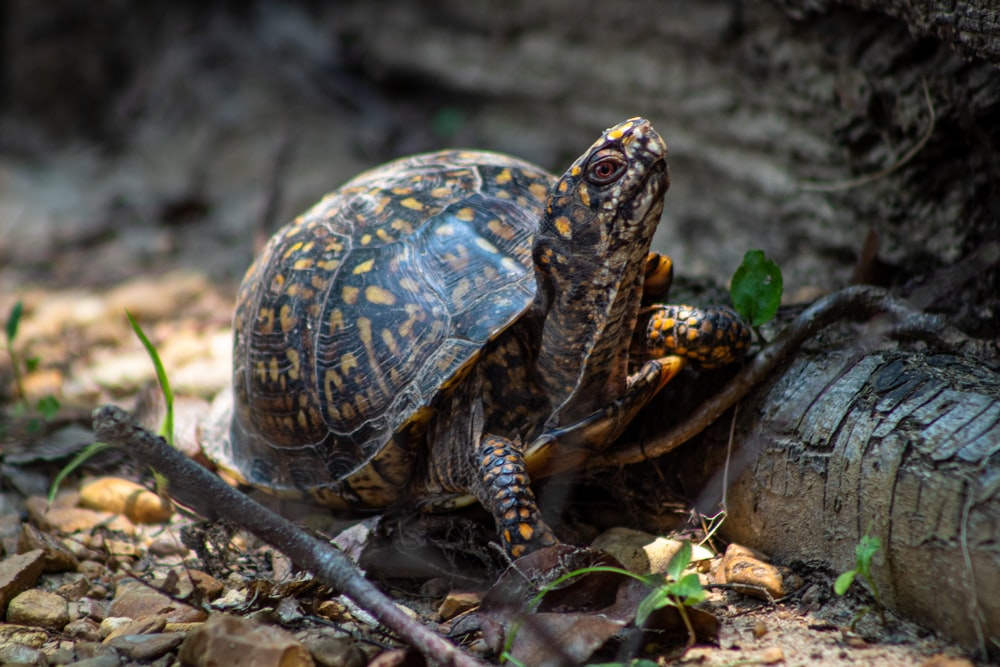 selective focus photography of black and brown turtle walking on fallen branch