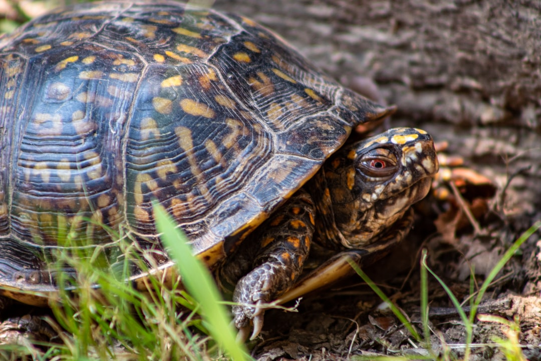 This box turtle found its way into our backyard.  We took some photos and then let it go into the park nearby.
