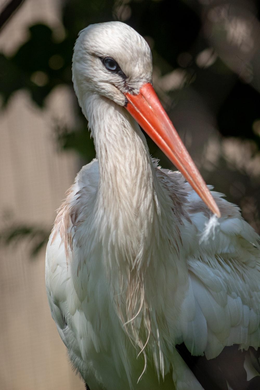 red beak white bird