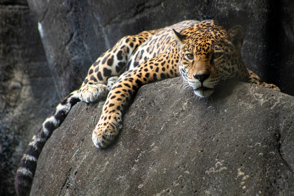 adult tiger lying on gray rock