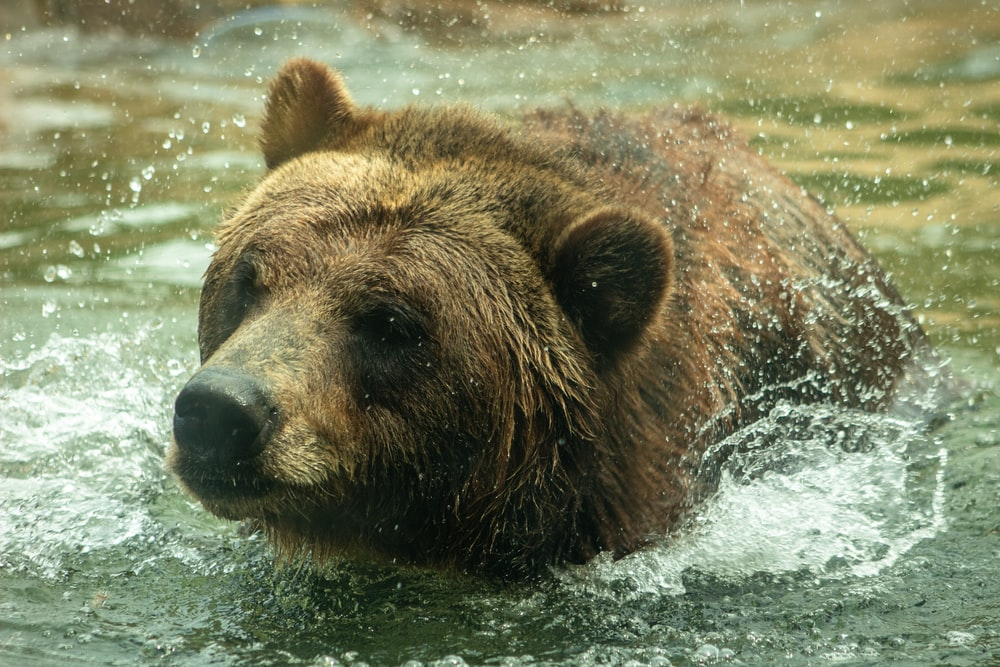 brown bear close-up photography