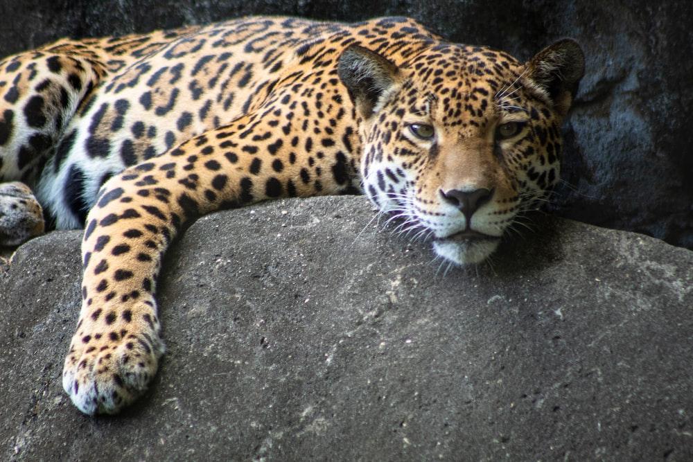 leopard lying on black rock