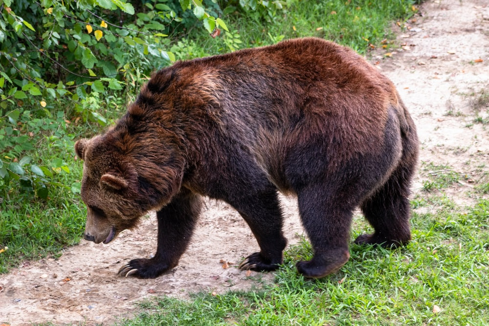 brown bear in a road during daytime