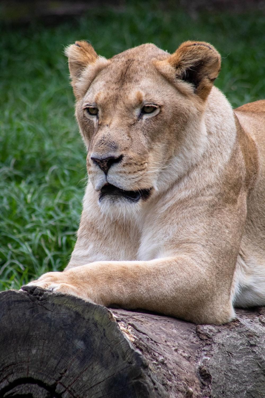 female lion on wood