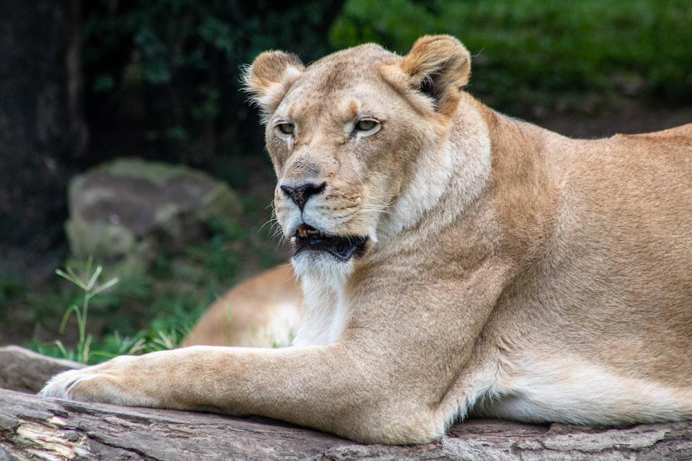 lioness on log