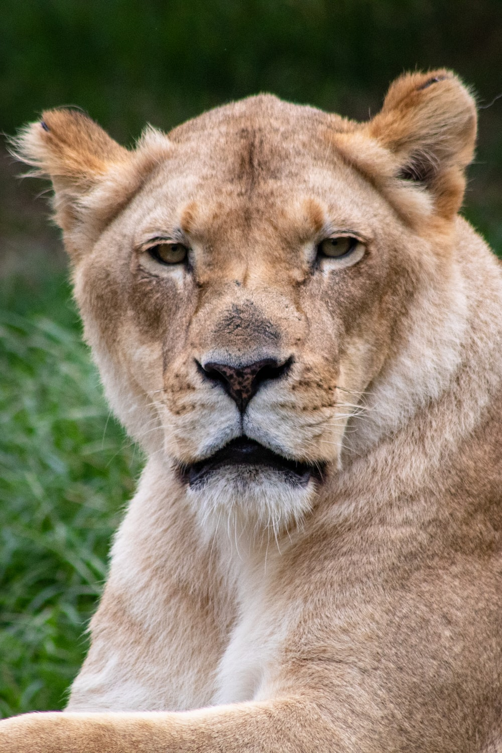 close-up photo of brown lioness