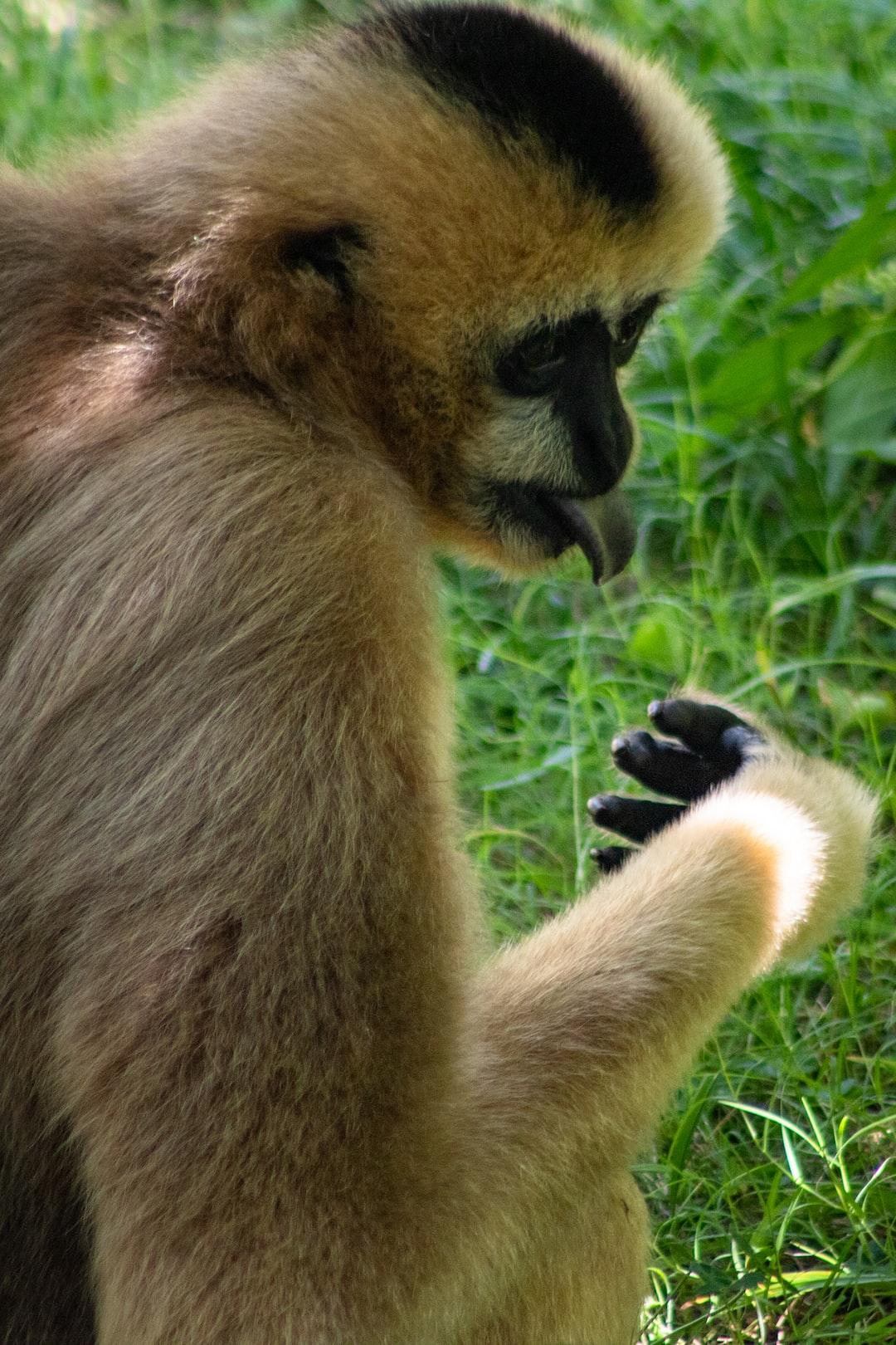 A gibbon sticks his tongue out.