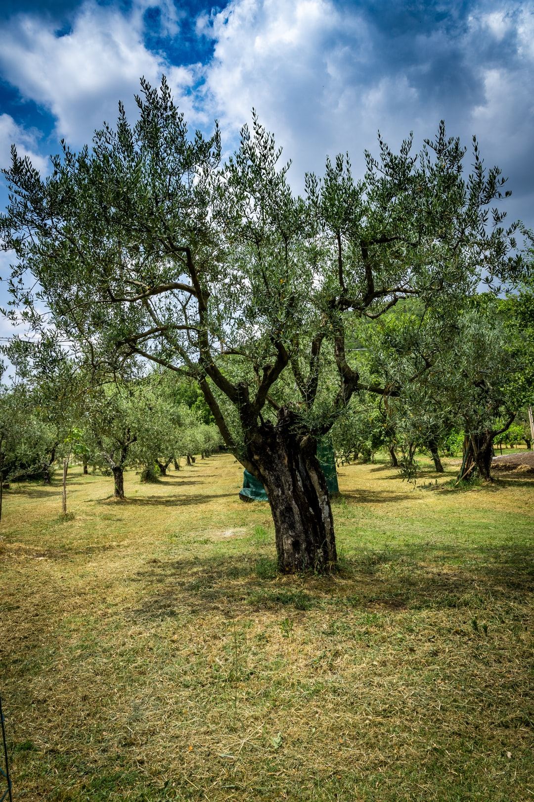 Olive tree reaches towards the sky in the Umbrian countryside.
