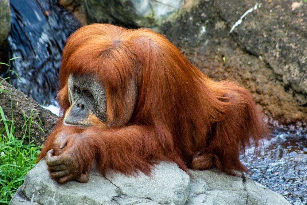 A female orangutan hangs out on a roc    | HD photo by